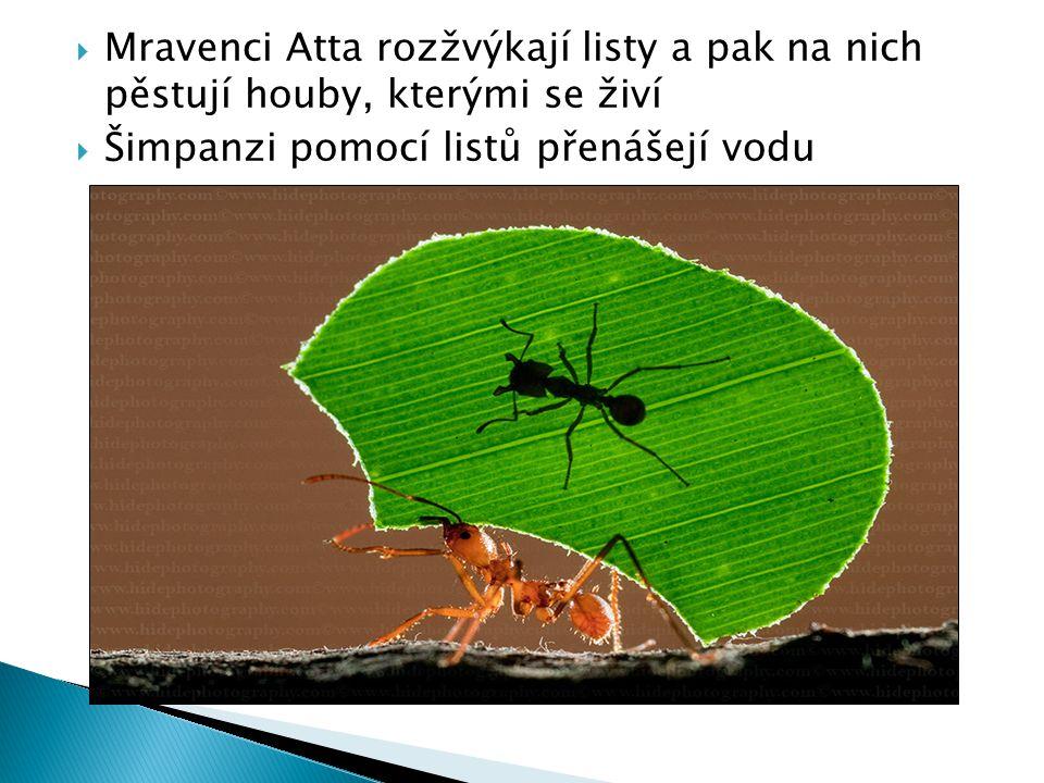  Mravenci Atta rozžvýkají listy a pak na nich pěstují houby, kterými se živí  Šimpanzi pomocí listů přenášejí vodu