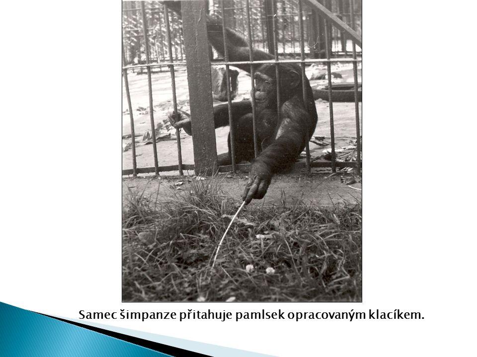 Samec šimpanze přitahuje pamlsek opracovaným klacíkem.