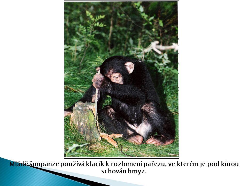 Mládě šimpanze používá klacík k rozlomení pařezu, ve kterém je pod kůrou schován hmyz.