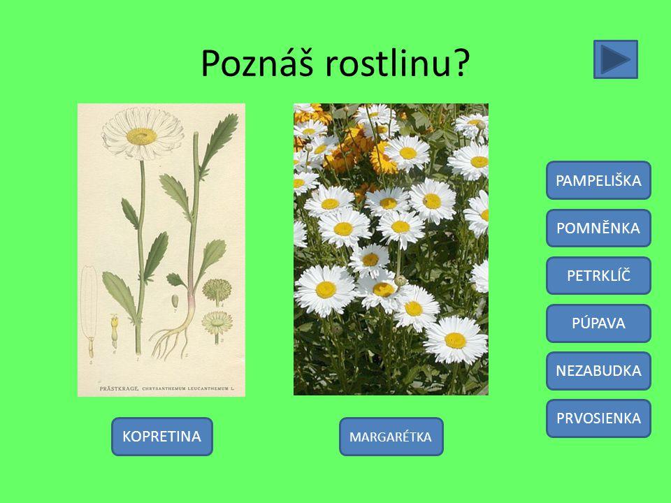 Poznáš rostlinu? KOPRETINA PAMPELIŠKA POMNĚNKA PETRKLÍČ PÚPAVA NEZABUDKA PRVOSIENKA MARGARÉTKA