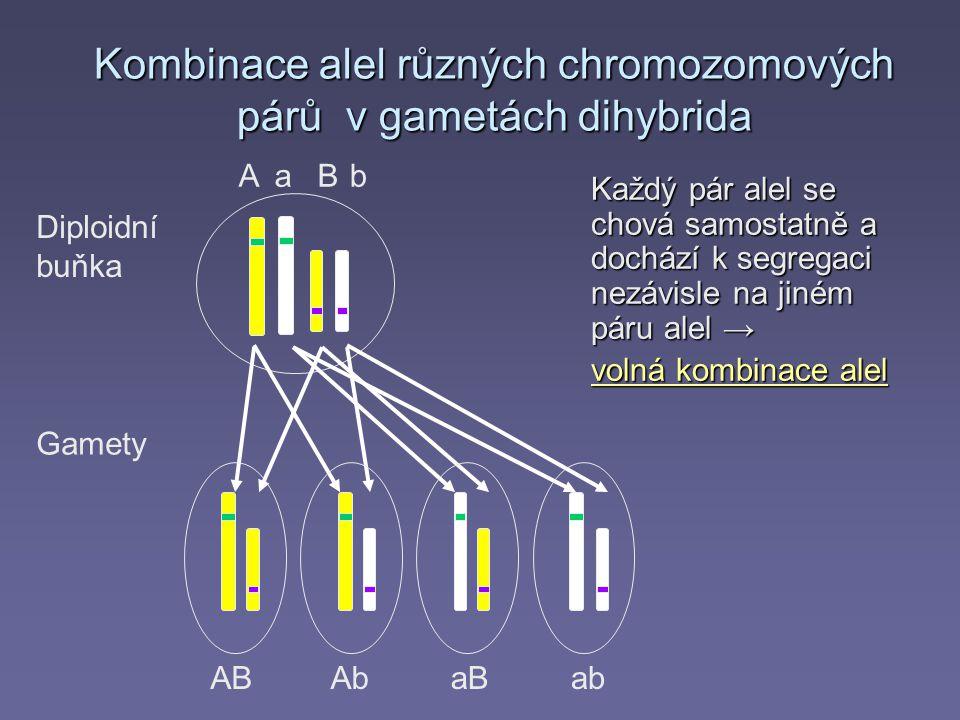 Aab Kombinace alel různých chromozomových párů v gametách dihybrida Každý pár alel se chová samostatně a dochází k segregaci nezávisle na jiném páru alel → volná kombinace alel Gamety ABAbaBab B Diploidní buňka
