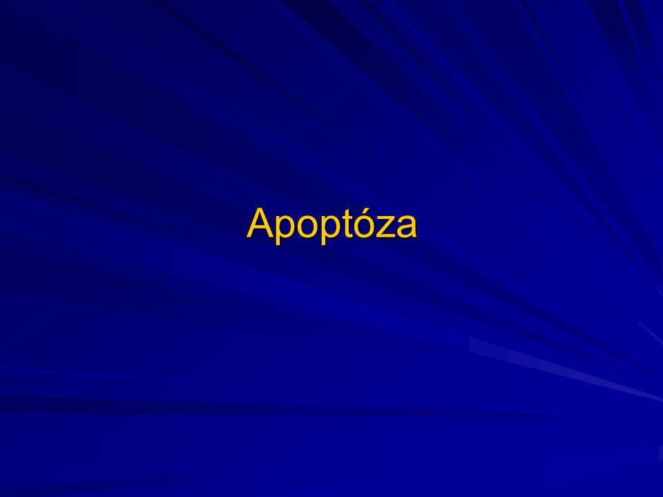 """Apoptóza Je zvláštní forma buněčné smrti postihující isolovanou/né buňky Příznačné pro tento typ regresivní změny buňky je fakt, že jde o aktivní proces, při němž se spotřebovává energie Jde o proces řízený-""""buněčná sebevražda""""- """"programovaná buněčná smrt"""" Apoptoza je totiž spojena s aktivací genů a proteosyntézou, celý proces řídí několik různých proteinu-vázaných na apoptózu bcl-2 onkoprotein inhibuje apoptozu- tím přispívá k buněčnému přežití bcl-2 onkoprotein je ve zvýšené míře exprimován např."""