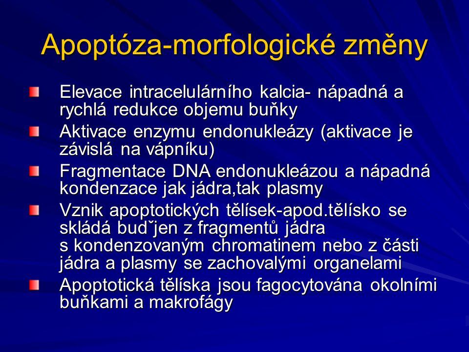 Apoptóza-morfologické změny Elevace intracelulárního kalcia- nápadná a rychlá redukce objemu buňky Aktivace enzymu endonukleázy (aktivace je závislá n
