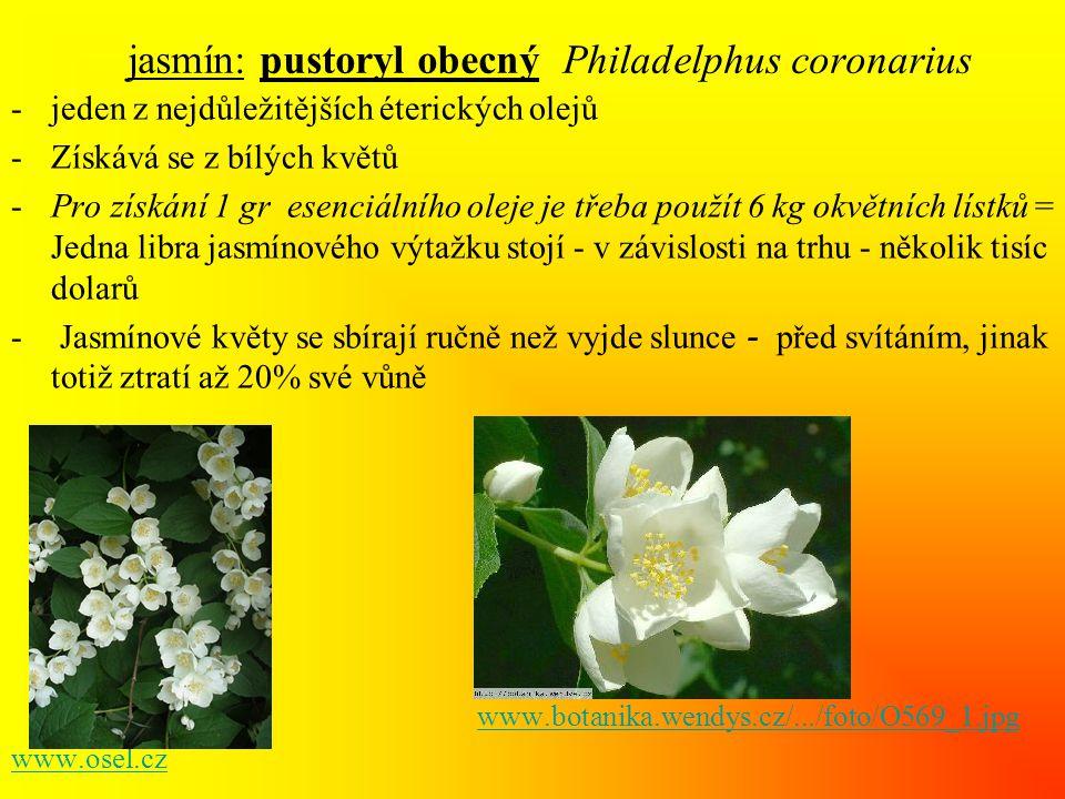 jasmín: pustoryl obecný Philadelphus coronarius -jeden z nejdůležitějších éterických olejů -Získává se z bílých květů -Pro získání 1 gr esenciálního oleje je třeba použít 6 kg okvětních lístků = Jedna libra jasmínového výtažku stojí - v závislosti na trhu - několik tisíc dolarů - Jasmínové květy se sbírají ručně než vyjde slunce - před svítáním, jinak totiž ztratí až 20% své vůně www.botanika.wendys.cz/.../foto/O569_1.jpg www.osel.cz