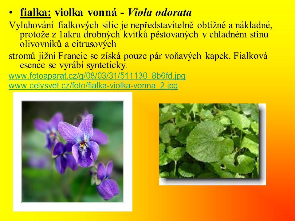 •fialka: violka vonná - Viola odorata Vyluhování fialkových silic je nepředstavitelně obtížné a nákladné, protože z 1akru drobných kvítků pěstovaných