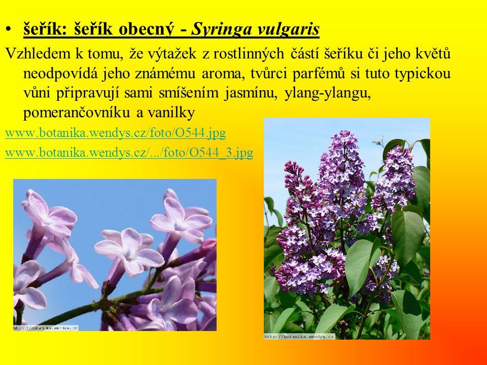 •šeřík: šeřík obecný - Syringa vulgaris Vzhledem k tomu, že výtažek z rostlinných částí šeříku či jeho květů neodpovídá jeho známému aroma, tvůrci parfémů si tuto typickou vůni připravují sami smíšením jasmínu, ylang-ylangu, pomerančovníku a vanilky www.botanika.wendys.cz/foto/O544.jpg www.botanika.wendys.cz/.../foto/O544_3.jpg