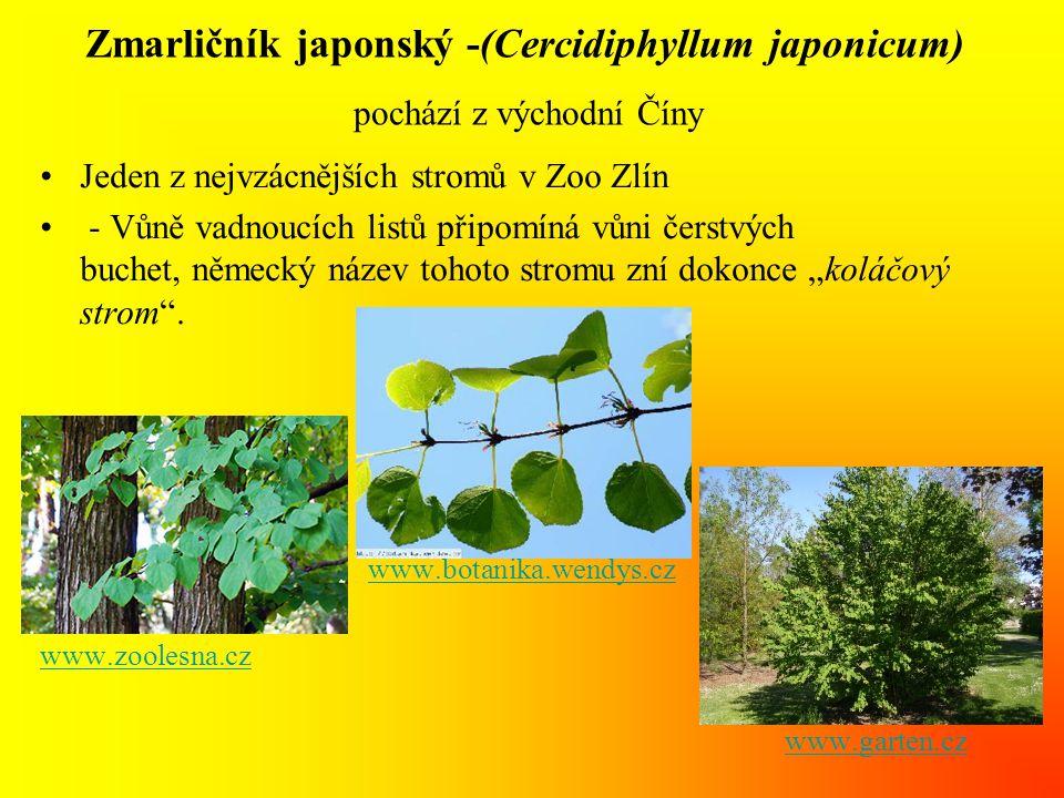 """Zmarličník japonský -(Cercidiphyllum japonicum) pochází z východní Číny •Jeden z nejvzácnějších stromů v Zoo Zlín • - Vůně vadnoucích listů připomíná vůni čerstvých buchet, německý název tohoto stromu zní dokonce """"koláčový strom ."""
