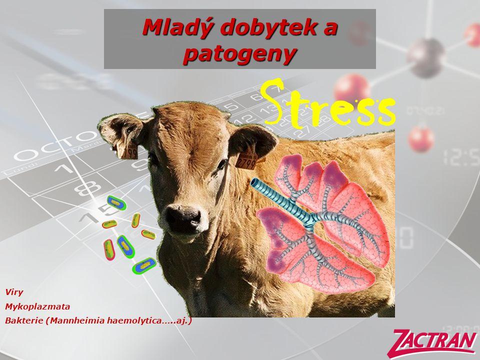 Mladý dobytek a patogeny Stress Viry Mykoplazmata Bakterie (Mannheimia haemolytica…..aj.)