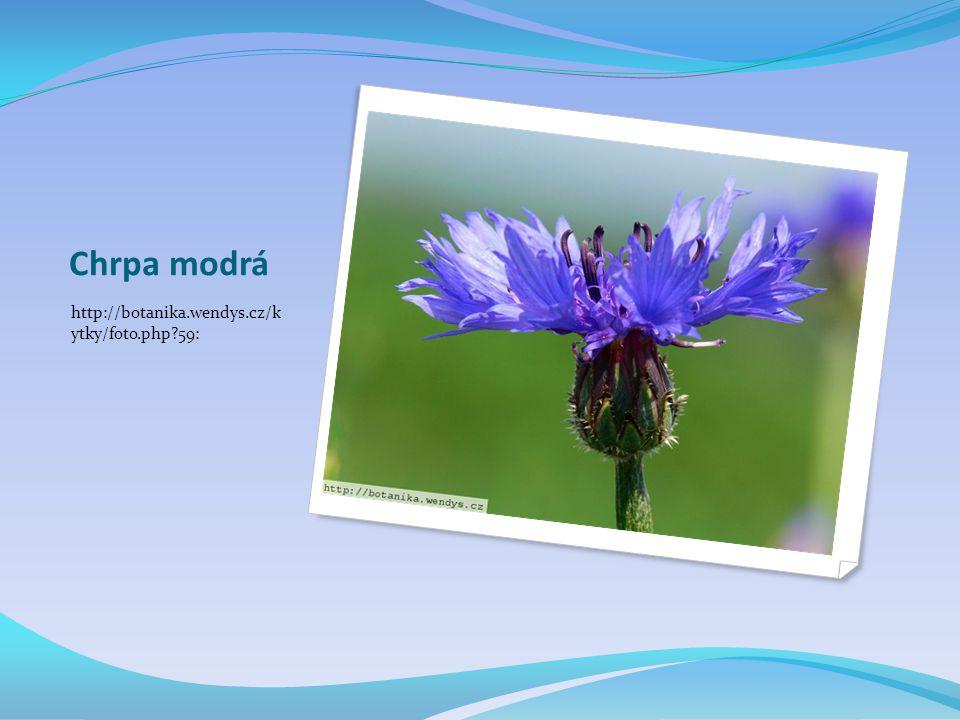 Chrpa modrá http://botanika.wendys.cz/k ytky/foto.php?59: