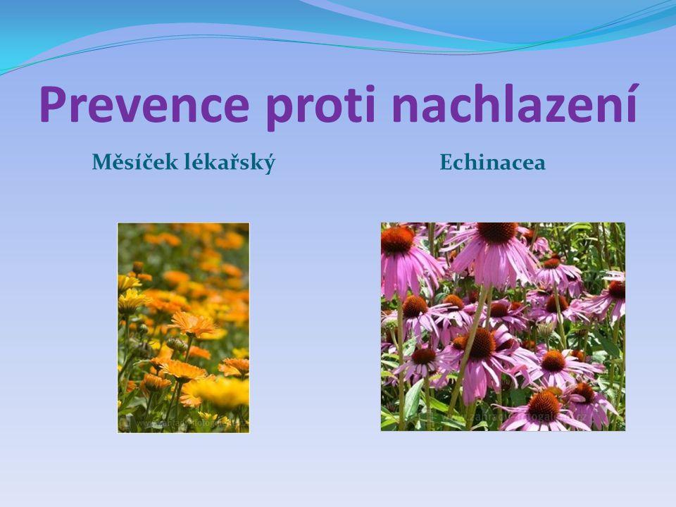 Prevence proti nachlazení Měsíček lékařský Echinacea