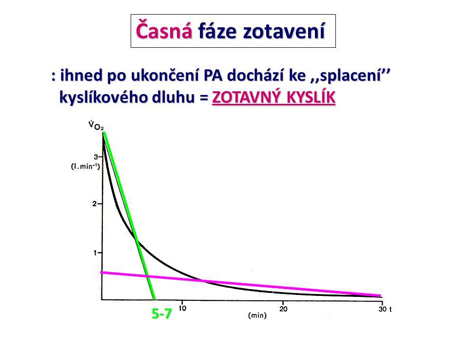 : ihned po ukončení PA dochází ke,,splacení'' kyslíkového dluhu =ZOTAVNÝ KYSLÍK kyslíkového dluhu = ZOTAVNÝ KYSLÍK Časná fáze zotavení 5-7