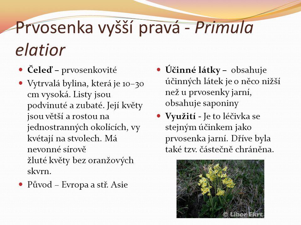 Prvosenka vyšší pravá - Primula elatior  Čeleď – prvosenkovité  Vytrvalá bylina, která je 10–30 cm vysoká. Listy jsou podvinuté a zubaté. Její květy