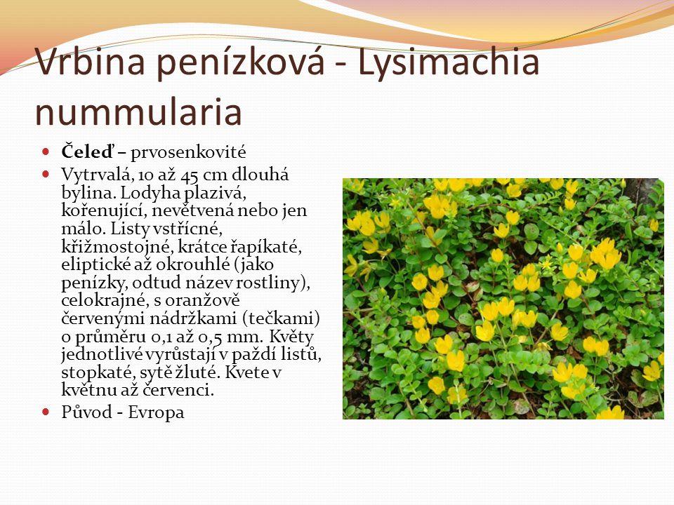 Vrbina penízková - Lysimachia nummularia  Čeleď – prvosenkovité  Vytrvalá, 10 až 45 cm dlouhá bylina. Lodyha plazivá, kořenující, nevětvená nebo jen