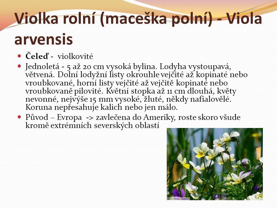 Violka rolní (maceška polní) - Viola arvensis  Čeleď - violkovité  Jednoletá - 5 až 20 cm vysoká bylina. Lodyha vystoupavá, větvená. Dolní lodyžní l