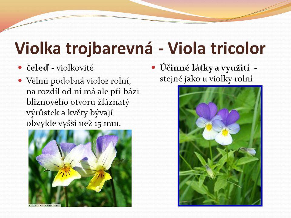 Violka trojbarevná - Viola tricolor  čeleď - violkovité  Velmi podobná violce rolní, na rozdíl od ní má ale při bázi bliznového otvoru žláznatý výrů
