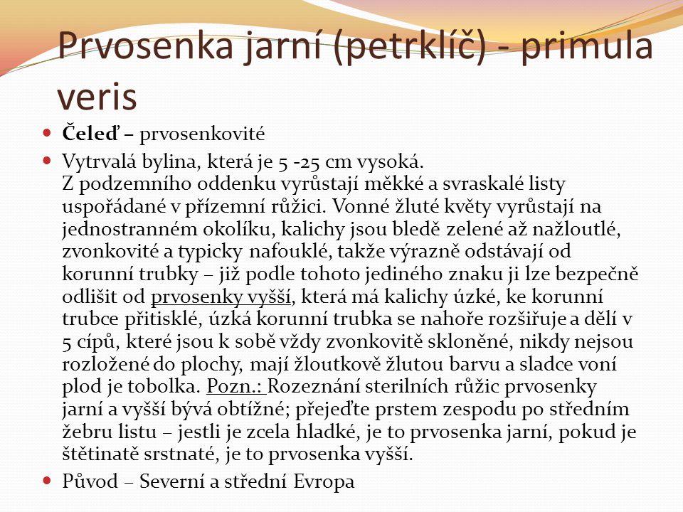 Prvosenka jarní (petrklíč) - primula veris  Čeleď – prvosenkovité  Vytrvalá bylina, která je 5 -25 cm vysoká. Z podzemního oddenku vyrůstají měkké a