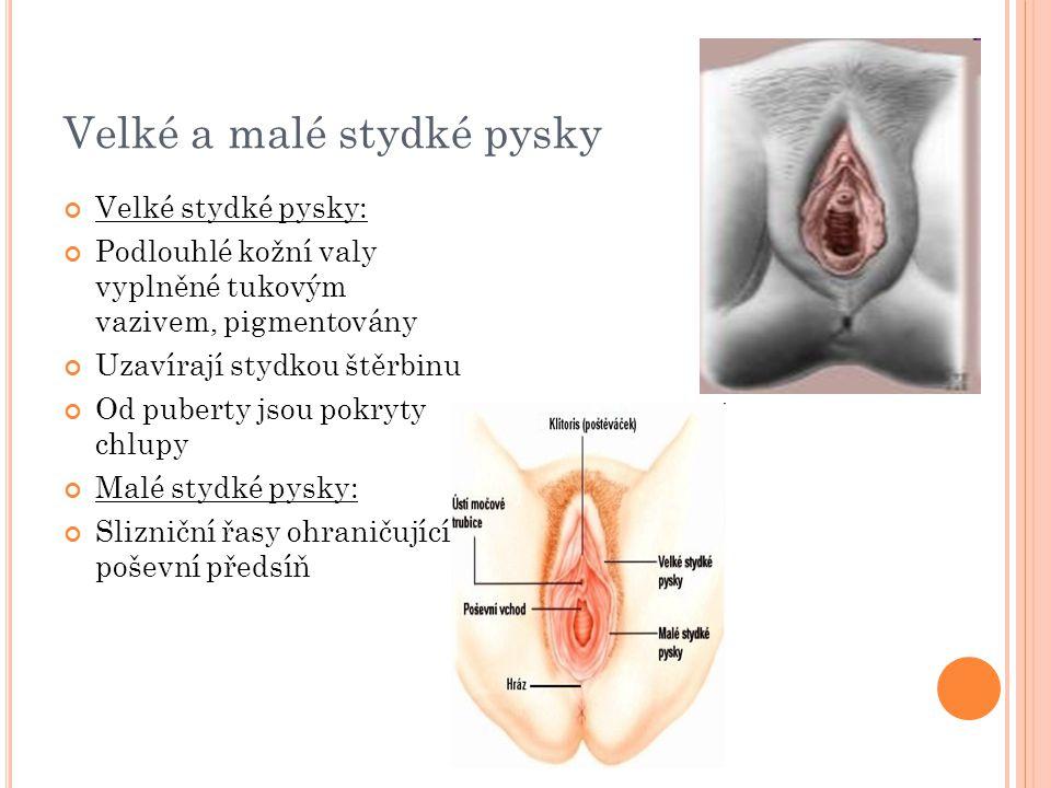 Velké a malé stydké pysky Velké stydké pysky: Podlouhlé kožní valy vyplněné tukovým vazivem, pigmentovány Uzavírají stydkou štěrbinu Od puberty jsou p