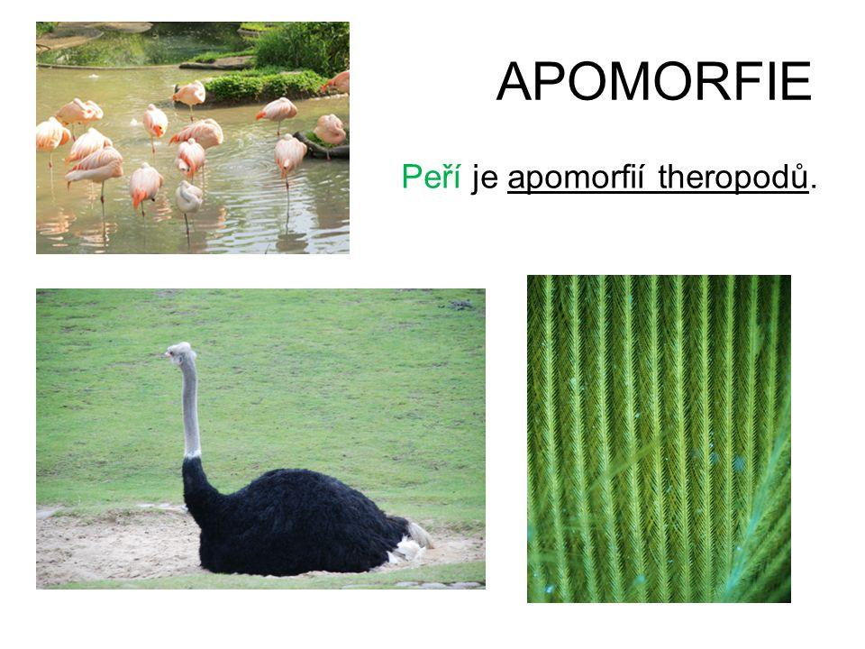 APOMORFIE Peří je apomorfií theropodů.