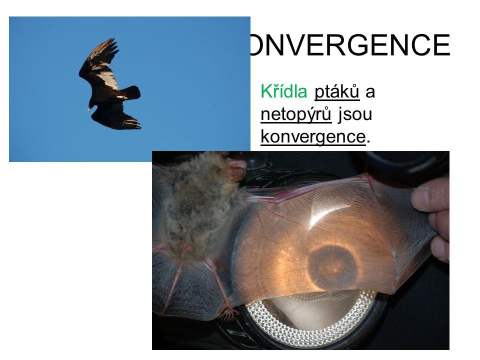 KONVERGENCE Křídla ptáků a netopýrů jsou konvergence.
