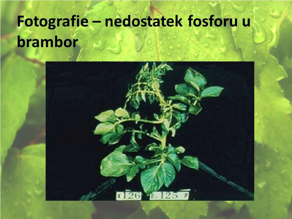 © Letohradské soukromé gymnázium o.p.s. Fotografie – nedostatek fosforu u brambor