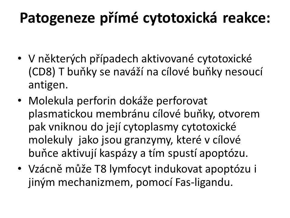 Patogeneze přímé cytotoxická reakce: • V některých případech aktivované cytotoxické (CD8) T buňky se naváží na cílové buňky nesoucí antigen. • Molekul