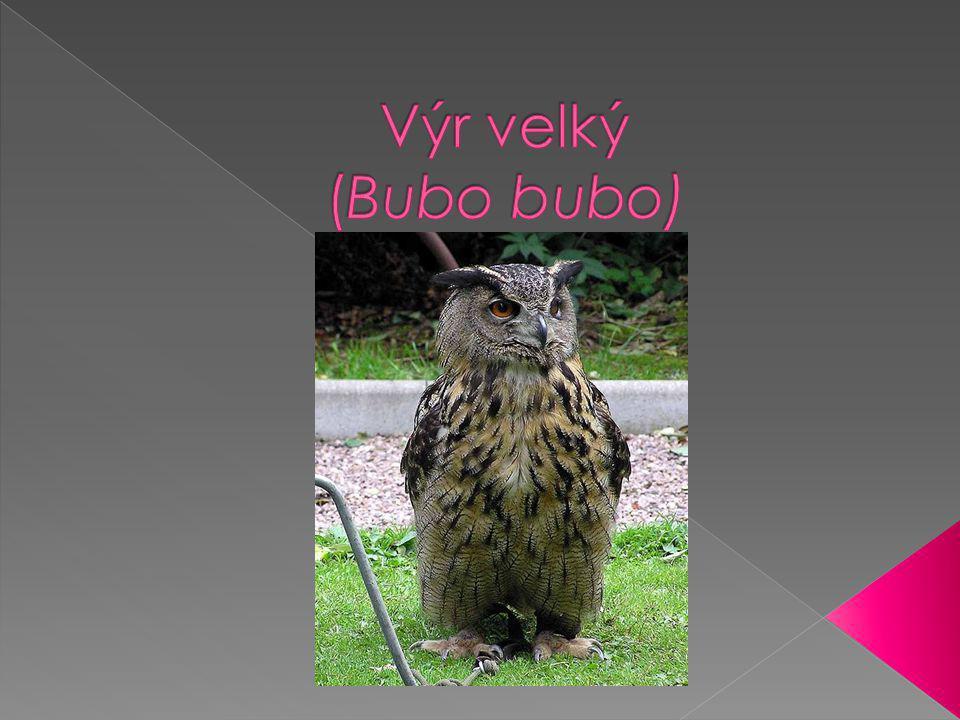 Největší evropská noční sova  Osidluje kamenité stráně, zříceniny s lesy v okolí  Samice vetší než samec  Zbarvení žlutohnědé s tmavohnědými skvrnami okolo krku a zobáku světlejší až bílé  Loví v noci v rozsáhlém revíru  Kořistí jsou zejména hlodavci, zajíci, králíci a další drobní savci  Rozmnožování-prosinec až únor,výrazným hú-hú značkuje teritorium,vytváří stabilní páry  Mláďata počátkem dubna,snáší 2-4 kulatá čistě bílá vejce, samice na nich sedí a hlídá je a samec krmí,línou se po 35 dnech,po 6 týdnech se už v hnízdě moc nezdržují,dobrými letci se stávají ve věku 100 dnů