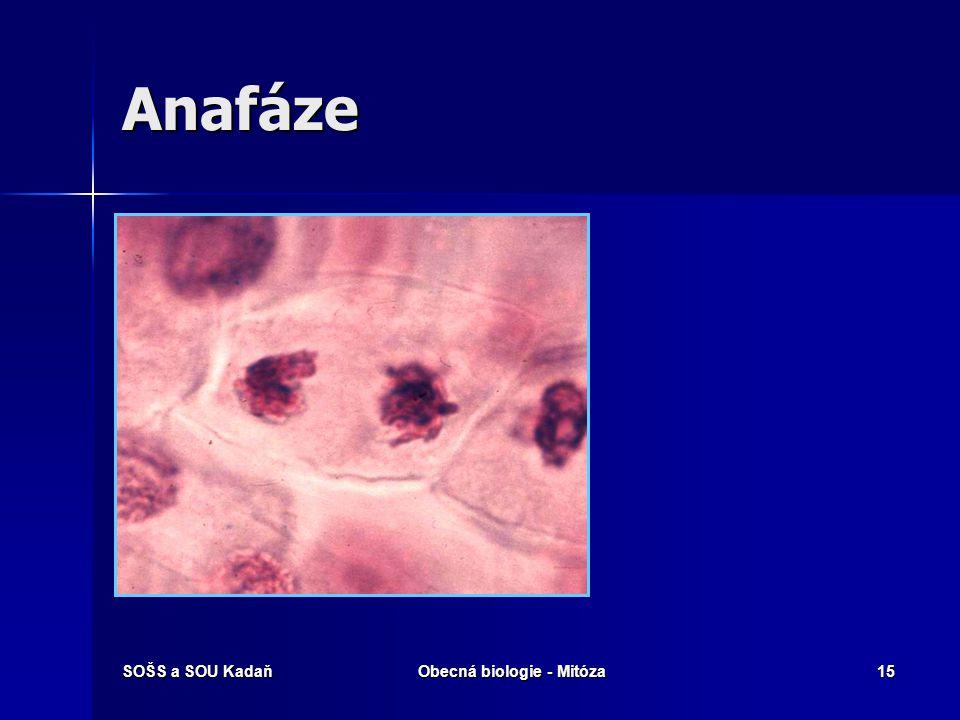 SOŠS a SOU KadaňObecná biologie - Mitóza16 Telofáze  Chromozómy jsou nahloučeny u buněčných pólů a despiralizují se, vytváří se kolem nich jaderná membrána.