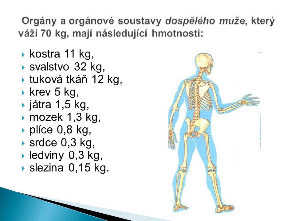  kostra 11 kg,  svalstvo 32 kg,  tuková tkáň 12 kg,  krev 5 kg,  játra 1,5 kg,  mozek 1,3 kg,  plíce 0,8 kg,  srdce 0,3 kg,  ledviny 0,3 kg,