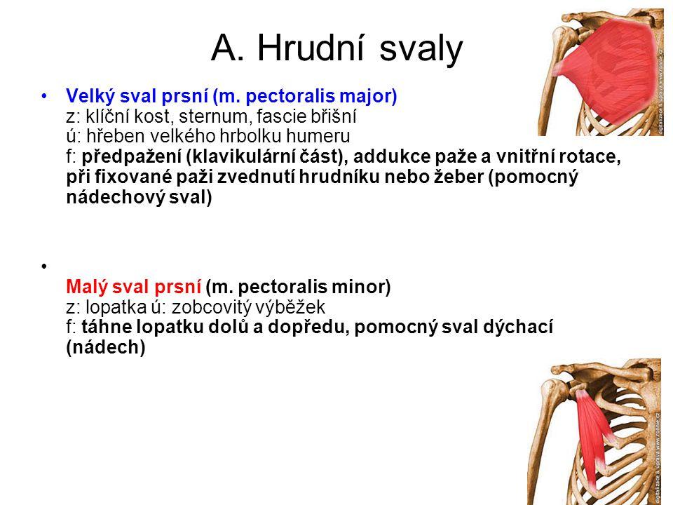 A. Hrudní svaly •Velký sval prsní (m. pectoralis major) z: klíční kost, sternum, fascie břišní ú: hřeben velkého hrbolku humeru f: předpažení (klaviku