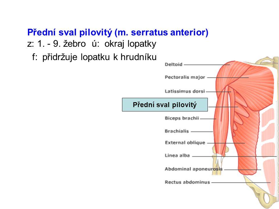 Přední sval pilovitý (m. serratus anterior) z: 1. - 9. žebro ú: okraj lopatky f: přidržuje lopatku k hrudníku Přední sval pilovitý
