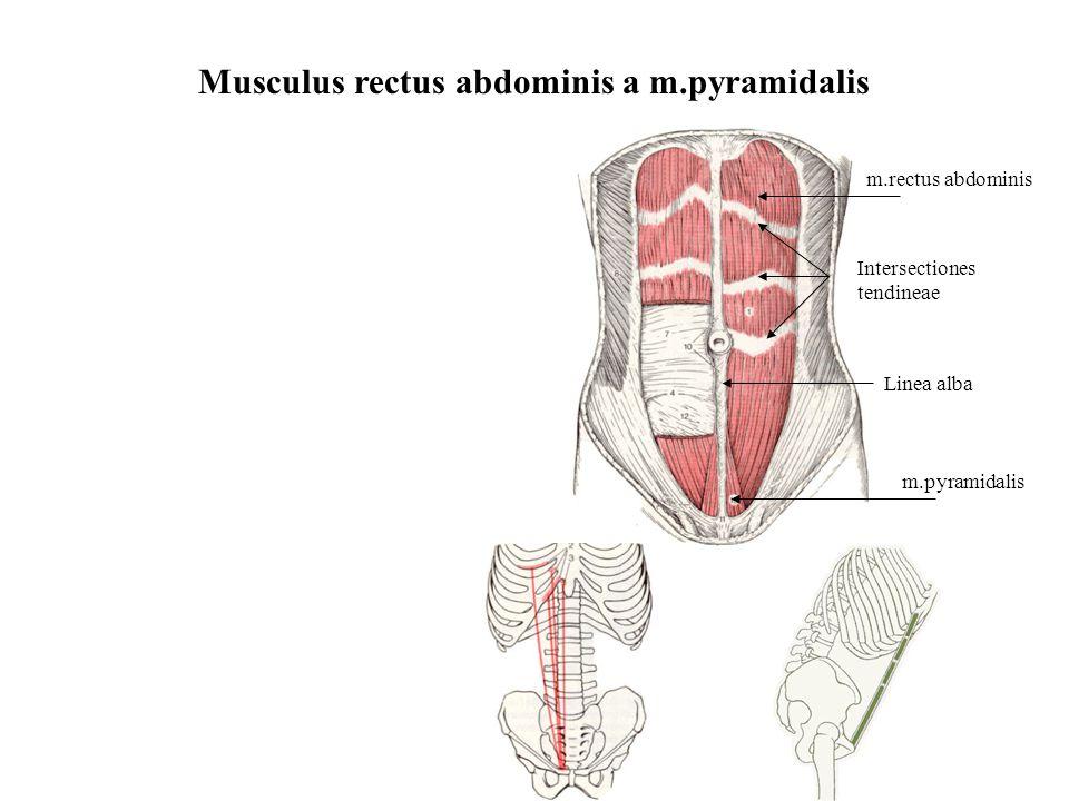 Musculus rectus abdominis a m.pyramidalis m.rectus abdominis m.pyramidalis Linea alba Intersectiones tendineae