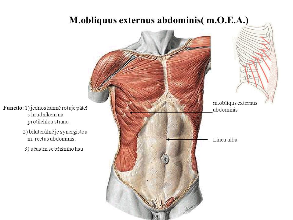 m.obliqus externus abdominis M.obliquus externus abdominis( m.O.E.A.) Linea alba Functio: 1) jednostranně rotuje páteř s hrudníkem na protilehlou stranu 2) bilaterálně je synergistou m.