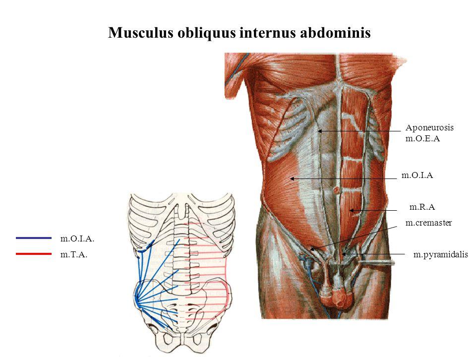 Musculus obliquus internus abdominis m.O.I.A m.cremaster Aponeurosis m.O.E.A m.O.I.A. m.T.A.m.pyramidalis m.R.A