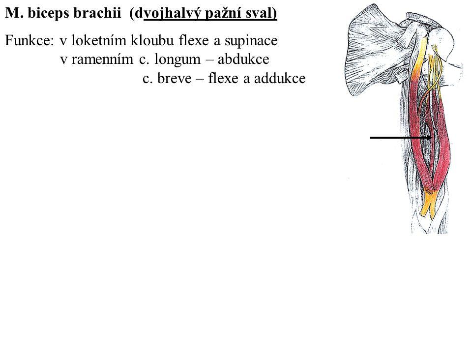 M. biceps brachii (dvojhalvý pažní sval) Funkce: v loketním kloubu flexe a supinace v ramenním c. longum – abdukce c. breve – flexe a addukce