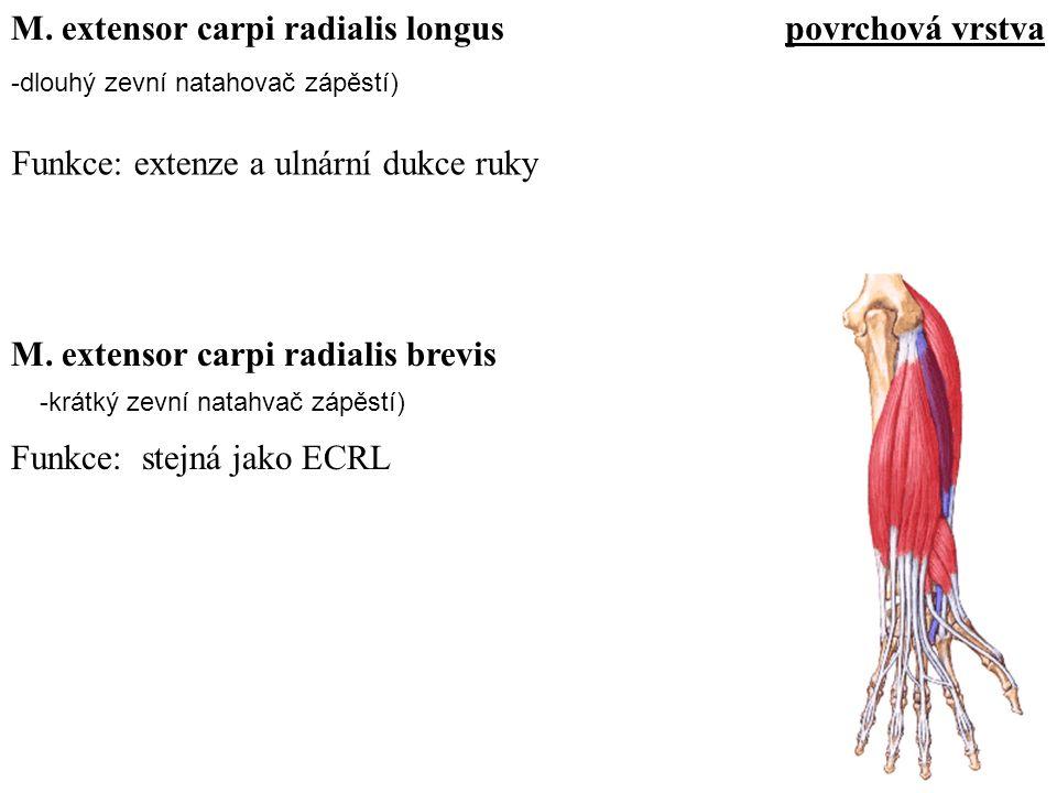 -dlouhý zevní natahovač zápěstí) Funkce: extenze a ulnární dukce ruky M. extensor carpi radialis longus Funkce: stejná jako ECRL M. extensor carpi rad