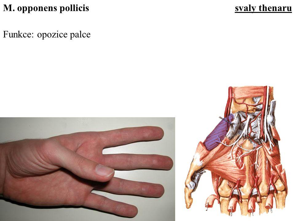 Funkce: opozice palce M. opponens pollicissvaly thenaru
