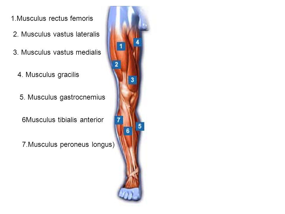 1.Musculus rectus femoris 2. Musculus vastus lateralis 3. Musculus vastus medialis 4. Musculus gracilis 5. Musculus gastrocnemius 6Musculus tibialis a