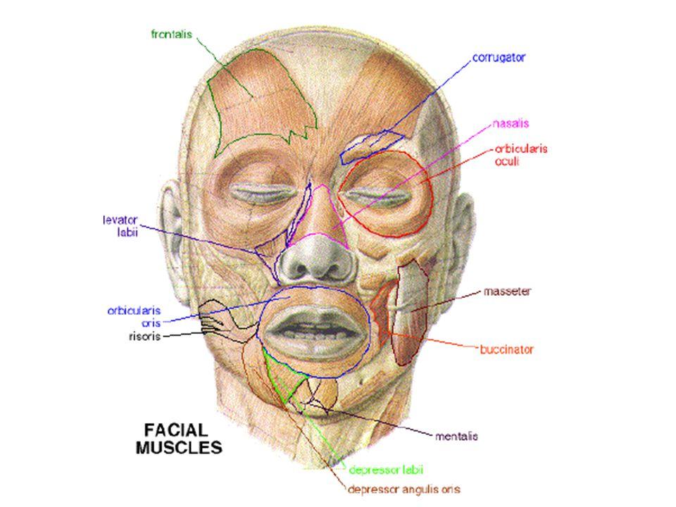 B.Žvýkací svaly -Žvýkací sval (m.