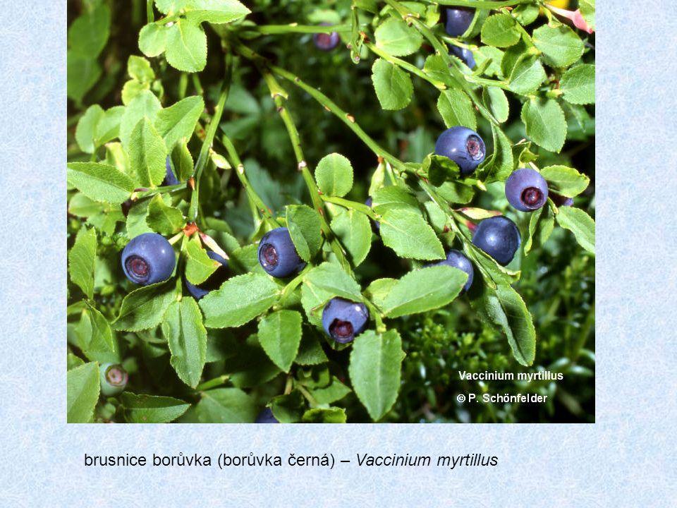 brusnice borůvka (borůvka černá) – Vaccinium myrtillus