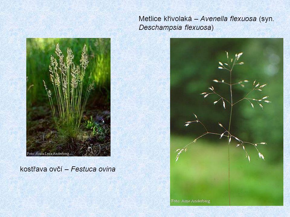 Metlice křivolaká – Avenella flexuosa (syn. Deschampsia flexuosa) kostřava ovčí – Festuca ovina