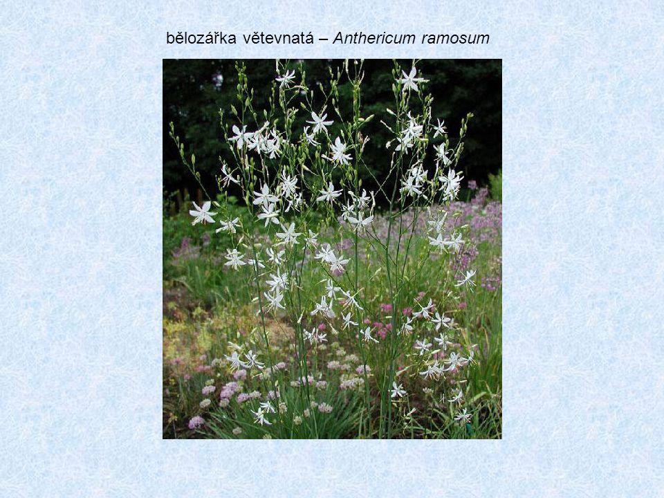 bělozářka větevnatá – Anthericum ramosum
