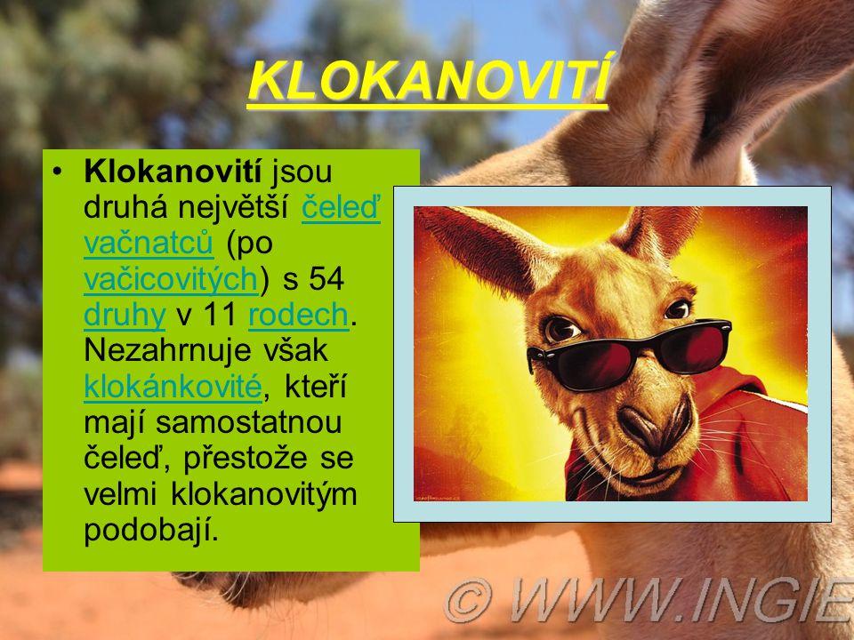 KLOKANOVITÍ •Klokanovití jsou druhá největší čeleď vačnatců (po vačicovitých) s 54 druhy v 11 rodech. Nezahrnuje však klokánkovité, kteří mají samosta