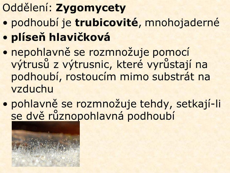 Oddělení: Zygomycety •podhoubí je trubicovité, mnohojaderné •plíseň hlavičková •nepohlavně se rozmnožuje pomocí výtrusů z výtrusnic, které vyrůstají na podhoubí, rostoucím mimo substrát na vzduchu •pohlavně se rozmnožuje tehdy, setkají-li se dvě různopohlavná podhoubí