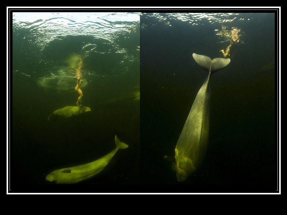 Obrovití bílí tvorové jí pak dovolili, aby se jich dotýkala, plavala po jejich boku. Díky tomu mohly vzniknout naprosto unikátní záběry.