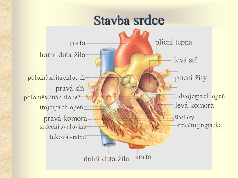 Stavba srdce aorta horní dutá žíla aorta dolní dutá žíla pravá komora pravá síň plicní tepna levá komora plicní žíly tuková vrstva srdeční svalovina srdeční přepážka šlašinky trojcípá chlopeň dvojcípá chlopeň poloměsíčitá chlopeň levá síň