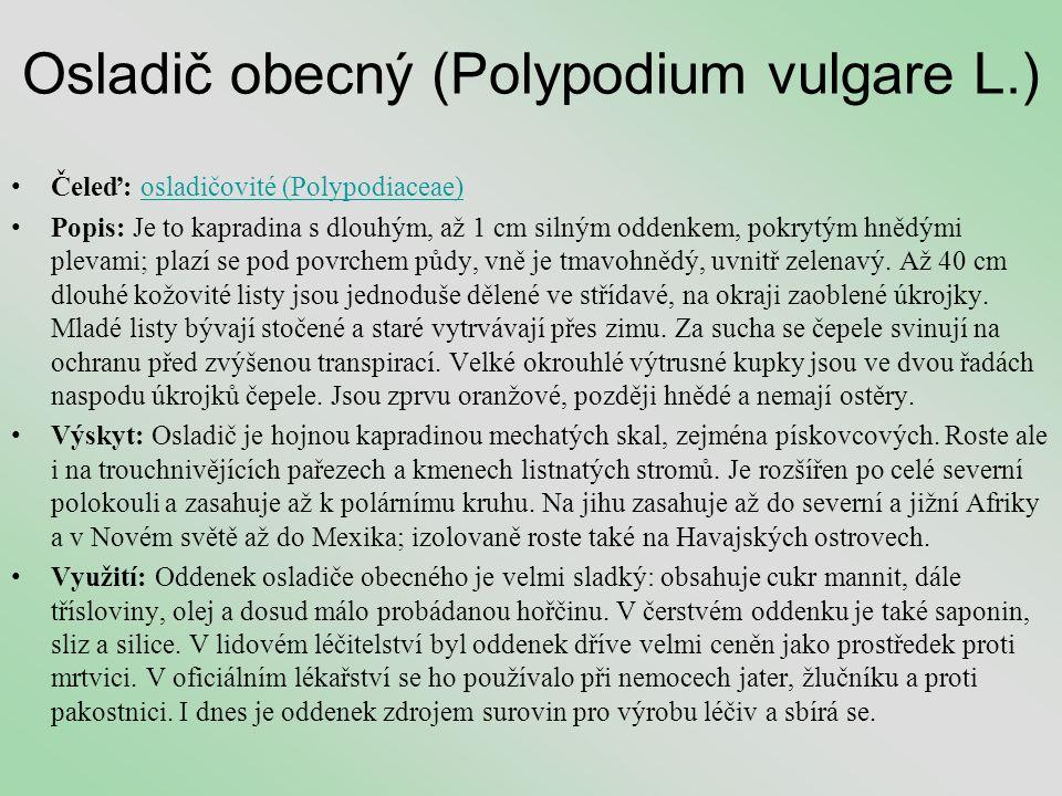 Osladič obecný (Polypodium vulgare L.) •Čeleď: osladičovité (Polypodiaceae)osladičovité (Polypodiaceae) •Popis: Je to kapradina s dlouhým, až 1 cm sil