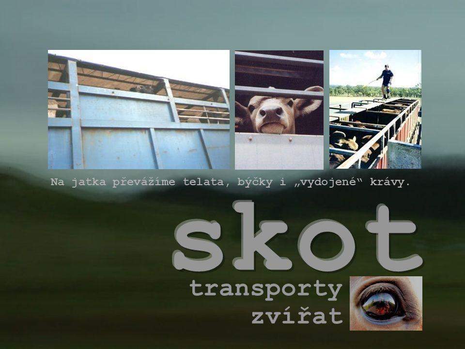 """transporty zvířat Na jatka převážíme telata, býčky i """"vydojené"""" krávy."""