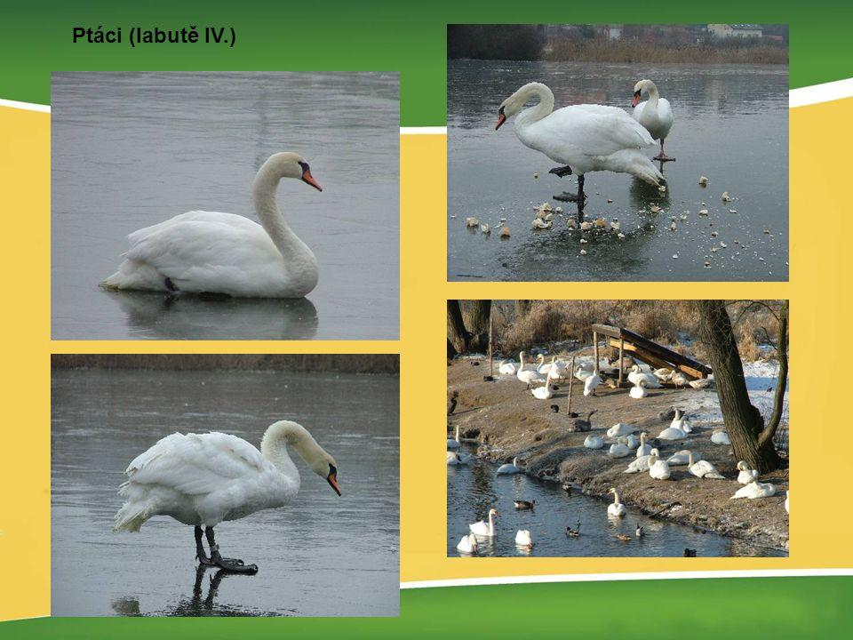 Ptáci (labutě IV.)