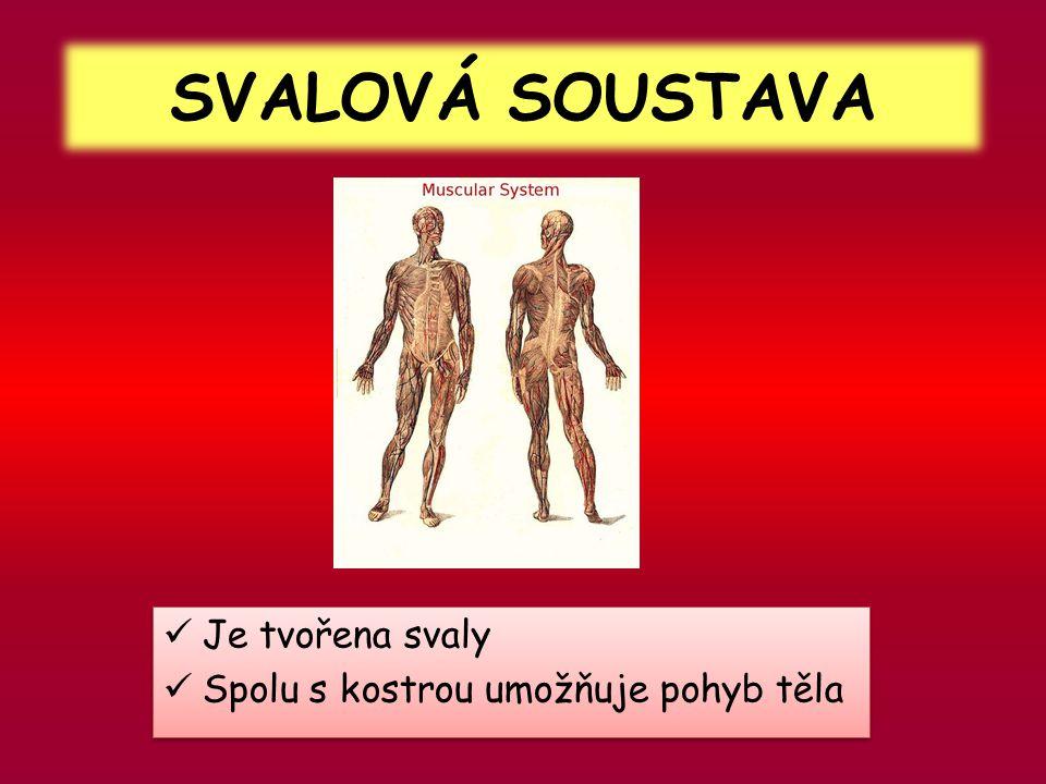 SVALOVÁ SOUSTAVA  Je tvořena svaly  Spolu s kostrou umožňuje pohyb těla  Je tvořena svaly  Spolu s kostrou umožňuje pohyb těla