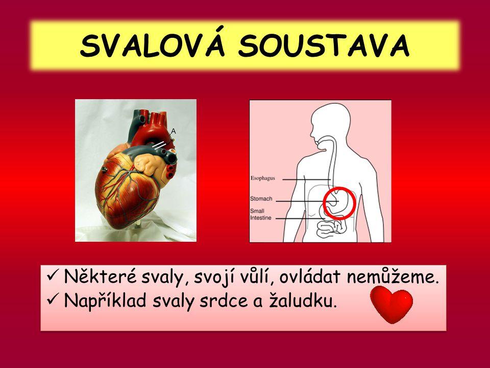 SVALOVÁ SOUSTAVA  Některé svaly, svojí vůlí, ovládat nemůžeme.  Například svaly srdce a žaludku.  Některé svaly, svojí vůlí, ovládat nemůžeme.  Na